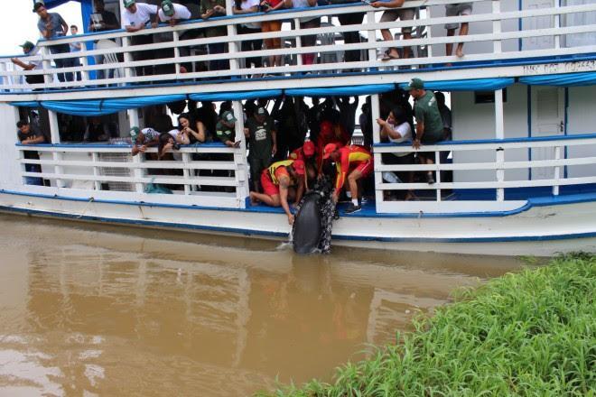 Quatro peixes-boi são devolvidos ao meio ambiente em Santarém (PA)
