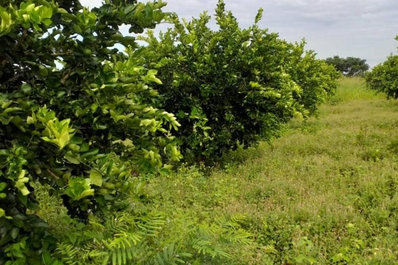 Produção de limão taiti bate recorde em Monte Alegre (PA)