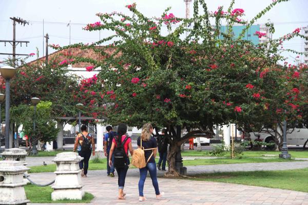 Manaus ficará mais colorida com mudas de bouganville em logradouros públicos