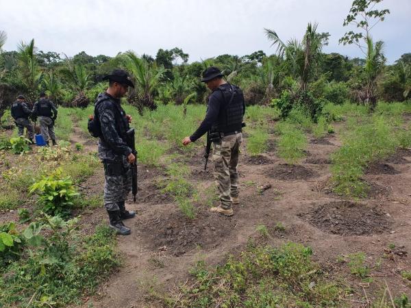 Operação em Nova Olinda do Norte encontra plantações de maconha