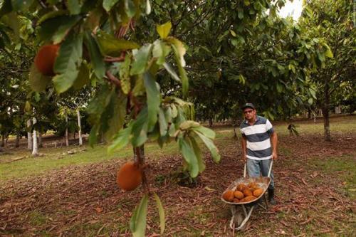 Município de Autazes deve aumentar em 30% a produção de cupuaçu em 2018