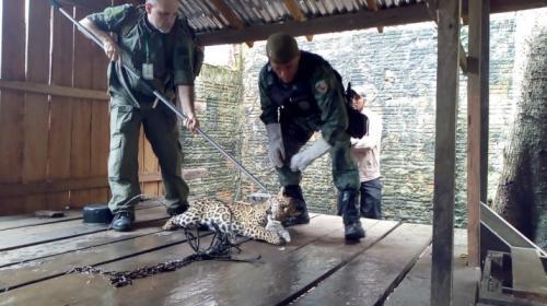 Batalhão Ambiental realiza resgate de onça-pintada em Itacoatiara