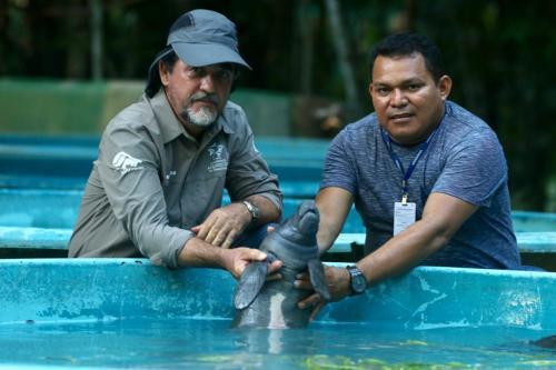 Filhote de peixe-boi é resgatado em Nhamundá e transferido para Manaus